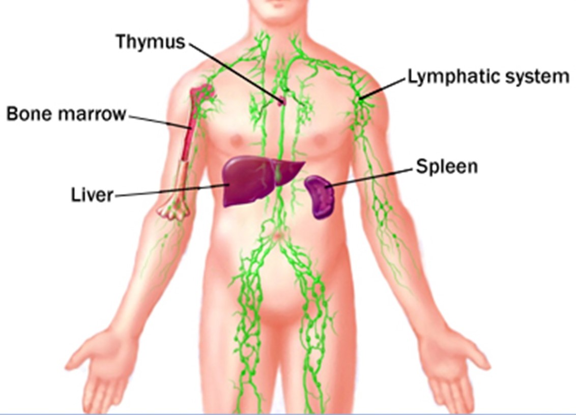 thymus gland - bio-testing therapy international - bio-testing, Cephalic Vein